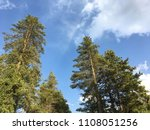Conifer Tree With Blue Sky