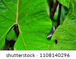 Blue Butterfly Sitting On Huge...