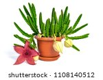 stapelia nobilis flower in pot... | Shutterstock . vector #1108140512