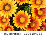 flower of gazania   Shutterstock . vector #1108154798