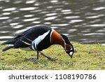 red breasted goose  branta... | Shutterstock . vector #1108190786