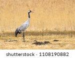 common crane  grus grus   on... | Shutterstock . vector #1108190882