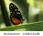 Butterfly Golden Helicon On...