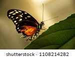 Golden Helicon Butterfly Light...