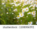 camomile flowers on green...   Shutterstock . vector #1108306592