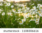 white chamomile  white daisy...   Shutterstock . vector #1108306616