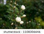 white flowers on briar rose bush   Shutterstock . vector #1108306646
