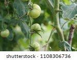 freshly grown ripe tomatoes on...   Shutterstock . vector #1108306736