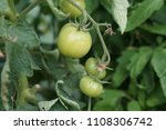fresh green tomatoes on tree in ...   Shutterstock . vector #1108306742