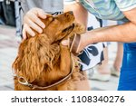 Small photo of Woman with tenderness caressing her favorite dog - cocker spaniel. Walk with dog through streets of city