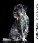 mittelschnauzer dog  isolated ... | Shutterstock . vector #1108472342
