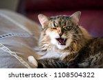 Fluffy Maine Coon Cat Closeup...