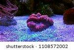 lobophylia large stony coral... | Shutterstock . vector #1108572002