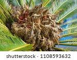 Ornamental Palm Cycas Revoluta...