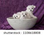Stock photo maltese white puppies 1108618808