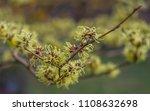 flowering witch hazel  ... | Shutterstock . vector #1108632698
