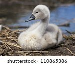Young Cygnet On Nest  In Profile