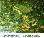 blooming tree linden in the... | Shutterstock . vector #1108663082