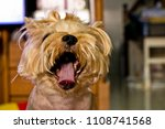 Small photo of My dog is in a naughty moment.(yorkshire terrier)