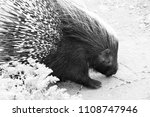 a porcupine in daylight | Shutterstock . vector #1108747946
