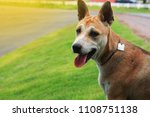 thai dog happy outdoors on the... | Shutterstock . vector #1108751138