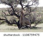 south african giraffe wedding... | Shutterstock . vector #1108759475
