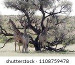 south african giraffe wedding... | Shutterstock . vector #1108759478
