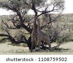 south african giraffe wedding... | Shutterstock . vector #1108759502