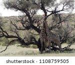 south african giraffe wedding... | Shutterstock . vector #1108759505
