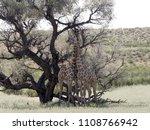 south african giraffe wedding... | Shutterstock . vector #1108766942