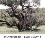 south african giraffe wedding... | Shutterstock . vector #1108766945