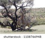 south african giraffe wedding... | Shutterstock . vector #1108766948