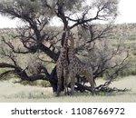 south african giraffe wedding... | Shutterstock . vector #1108766972