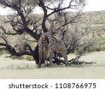 south african giraffe wedding... | Shutterstock . vector #1108766975