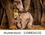 Stock photo baby african elephant under the protection of the adults in the herd 1108826132