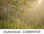 Golden Mist Over The Birchs...