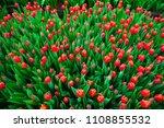 spring scene of tulip field.... | Shutterstock . vector #1108855532