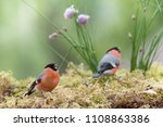 two male bullfinch are standing ... | Shutterstock . vector #1108863386