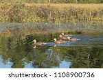 flock of 5 blue wing teal ducks ... | Shutterstock . vector #1108900736