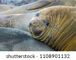 juvenile elephant seals lie in... | Shutterstock . vector #1108901132
