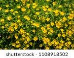 Ranunculus Acris   Meadow...