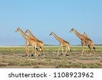 giraffes  giraffa...   Shutterstock . vector #1108923962
