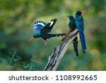 green wood hoopoe  phoeniculus...   Shutterstock . vector #1108992665