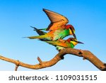 exotic birds are steaming in... | Shutterstock . vector #1109031515