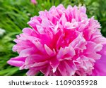 The blooming pink peony in the...