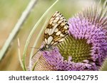 butterfly   marbled white ... | Shutterstock . vector #1109042795