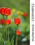 tulips on the flowerbed in... | Shutterstock . vector #1109048912