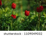 red tulips on the flowerbed in... | Shutterstock . vector #1109049032