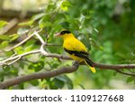 Black naped oriole  the black...