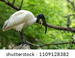 Black-headed ibis, The black-headed ibis or Oriental white ibis is a species of wading bird of the ibis family